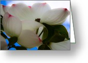 Dogwood Blossom Greeting Cards - White Dogwood Flower Greeting Card by David Patterson