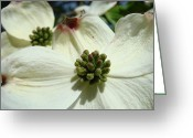 Landscape Framed Prints Greeting Cards - White Dogwood Flowers art prints Floral Greeting Card by Baslee Troutman Fine Art Prints