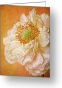 France Greeting Cards - White Double Poppy Greeting Card by © Leslie Nicole Photographic Art