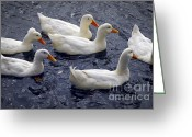 Flock Greeting Cards - White ducks Greeting Card by Elena Elisseeva
