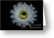 Night Blooming Greeting Cards - White Echinopsis Flower  Greeting Card by Saija  Lehtonen