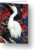 Red Maple Greeting Cards - White Egret in Red Maple Tree Greeting Card by Rose  Hill