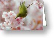 Animal Themes Greeting Cards - White-eye And Cherry Blossoms Greeting Card by I love Photo and Apple.