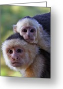 Monkey Greeting Cards - White-faced Capuchin Monkey Mother And Baby Greeting Card by Larry Linton