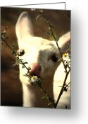 Fawns Greeting Cards - White Fawn and the Daisy Greeting Card by Emily Stauring