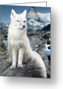 Vulpes Greeting Cards - White Fox at Matterhorn Greeting Card by Julie L Hoddinott