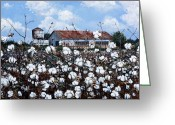 Shelton Greeting Cards - White Harvest Greeting Card by Cynara Shelton