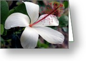 Kevin W .smith Greeting Cards - White Hibiscus Greeting Card by Kevin Smith