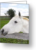Ranching Greeting Cards - White horse Greeting Card by Elena Elisseeva