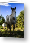 Caballo Greeting Cards - White horses and blue sky Greeting Card by Fernando Alvarez