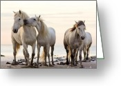 Horse Pyrography Greeting Cards - White horses Greeting Card by Egija Labanovska