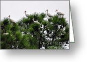 Audubon Greeting Cards - White Ibises Roosting Greeting Card by Al Powell Photography USA