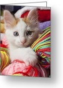 Whiskers Greeting Cards - White kitten close up Greeting Card by Garry Gay