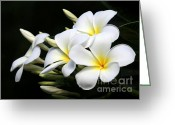 Florida Flowers Greeting Cards - White Lightning Greeting Card by Sabrina L Ryan