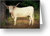 Tamyra Ayles Greeting Cards - White Longhorn Greeting Card by Tamyra Ayles