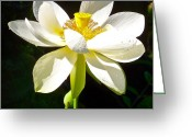 Lotus Full Bloom Greeting Cards - White Lotus Greeting Card by Bryn Berg