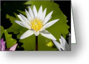 Lilly Pads Greeting Cards - White Lotus Greeting Card by Kelley King
