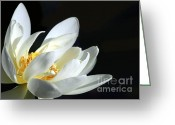Water Gardens Greeting Cards - White Lotus Greeting Card by Sabrina L Ryan