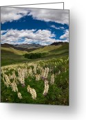 Knob Greeting Cards - White Lupine Greeting Card by Leland Howard