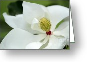 Snowy Tree Greeting Cards - White Magnolia Greeting Card by Sabrina L Ryan