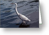 White Morph Greeting Cards - White Morph Great Blue Heron - Ardea herodias occidentalis Greeting Card by Allan  Hughes