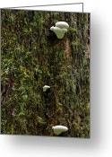 Charming Greeting Cards - White Mushrooms - Quinault temperate rain forest - Olympic Peninsula WA Greeting Card by Christine Till