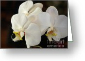 Yellow And Red Greeting Cards - White Orchid - Doritaenopsis Orchid Greeting Card by Kaye Menner