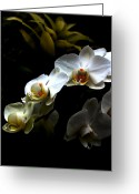 Phalaenopsis Orchid Greeting Cards - White orchid with dark background Greeting Card by Jasna Buncic