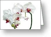 White Orchids Greeting Cards - White Orchids Greeting Card by Ann Garrett