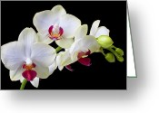 Stems Greeting Cards - White Orchids Greeting Card by Garry Gay
