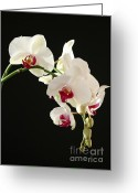 Moth Orchids Greeting Cards - White Orchids Greeting Card by Sabrina L Ryan