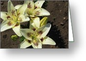 Christine Hafeman Greeting Cards - White Oriental Lily Greeting Card by Christine Hafeman