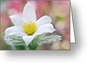 Pasqueflower Greeting Cards - White Pasque Flower Greeting Card by Jacky Parker Photography