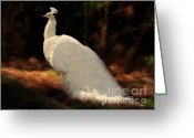 Albino Peacock Greeting Cards - White Peacock in Golden Hour Greeting Card by Constance Woods