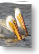 Business Decor Greeting Cards - White Pelican Couple Greeting Card by Robert Frederick