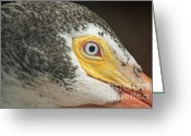 Melon Greeting Cards - White Pelican Eye Greeting Card by Terri Mills