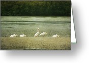 Sanibel Island Greeting Cards - White Pelicans Greeting Card by Cindi Ressler