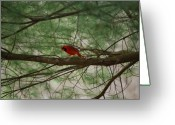 Wv Greeting Cards - White Pine Cardinal Greeting Card by Randy Bodkins