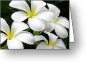 James Temple Greeting Cards - White Plumeria Greeting Card by James Temple