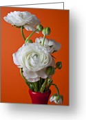 Ranunculus Greeting Cards - White ranunculus close up in red vase Greeting Card by Garry Gay