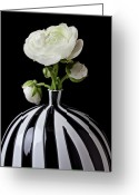 Blossom Greeting Cards - White ranunculus in black and white vase Greeting Card by Garry Gay