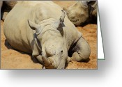 Colour Image Greeting Cards - White Rhino resting in the sun Greeting Card by Gabriela Insuratelu