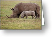 Side View Greeting Cards - White Rhinocero Grazing Side By Side Greeting Card by Achim Mittler, Frankfurt am Main