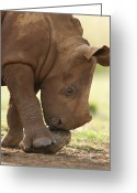 African Animals Greeting Cards - White Rhinoceros Ceratotherium Simum Greeting Card by Matthias Breiter