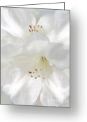 State Flowers Greeting Cards - White Rhododendron Flowers Greeting Card by Jennie Marie Schell