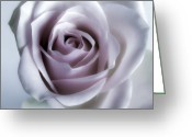 Landscape Framed Prints Greeting Cards - White Rose Flower Closeup - Flower Photograph Greeting Card by Artecco Fine Art Photography - Photograph by Nadja Drieling