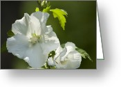 Althea Greeting Cards - White Rose of Sharon Squared Greeting Card by Teresa Mucha