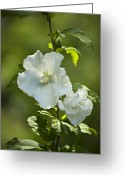 Althea Greeting Cards - White Rose of Sharon Greeting Card by Teresa Mucha
