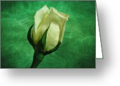 White And Green Greeting Cards - White Rose Greeting Card by Sandy Keeton