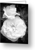 Birthday Greeting Cards - White Rose You Are Heavenly Greeting Card by Sholeh Mesbah